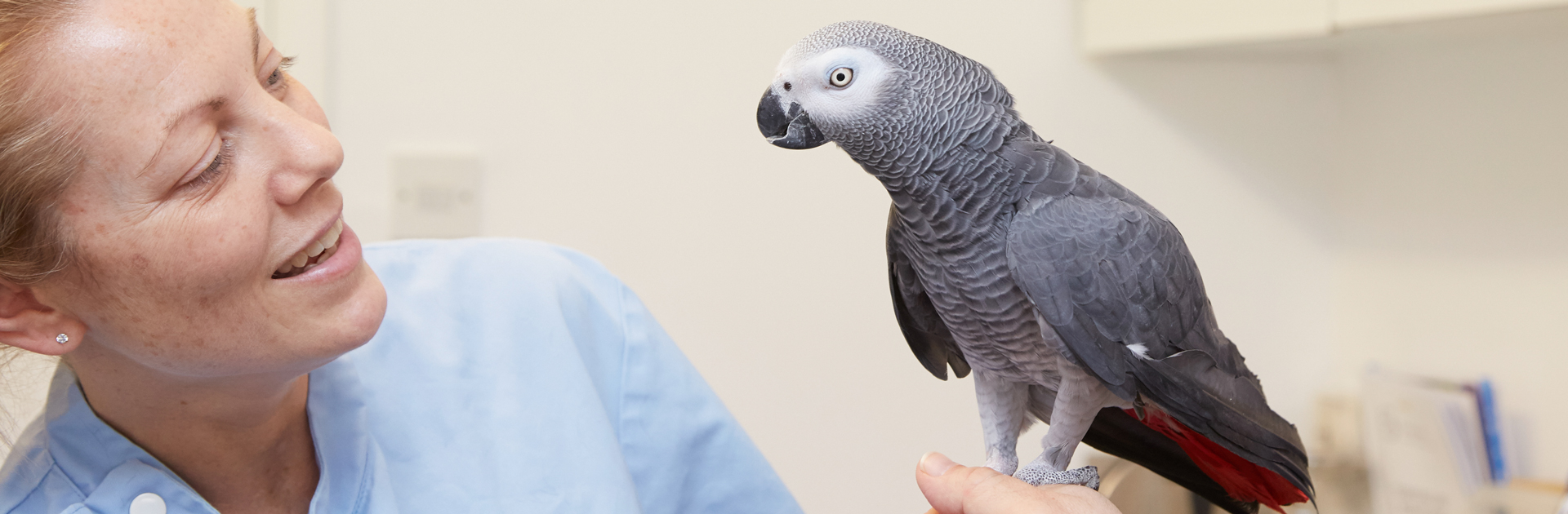 African grey parrot with veterinary surgeon