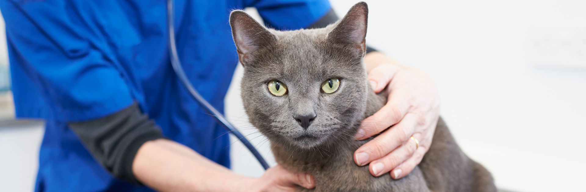 Grey cat being examined by vet