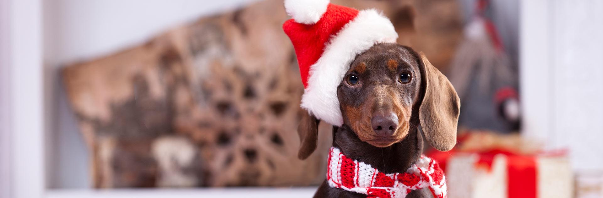 Festive sausage dog